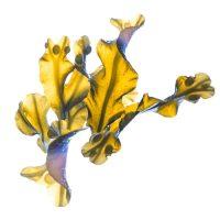 Brown seaweed extract (Fucus vesiculosus)